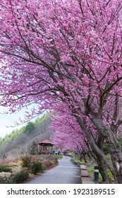 Farm cherry blossom pink flowers