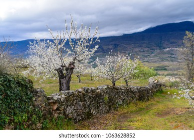 A farm with cherry trees in bloom