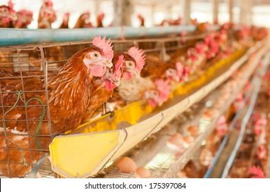 Farm chicken eggs.