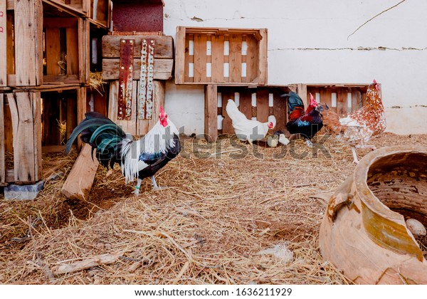 A farm of chickens and ecological roosters.