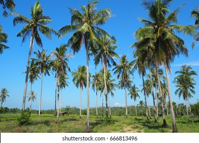 Farm of coconut green trees, with the beautiful blue, bright and clear sky in a good day at a field by the sea in Prachuap Khiri Khan province in Thailand.