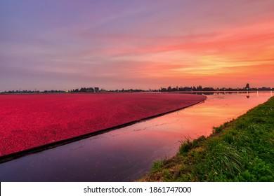 farm cranberry bog at sunset time