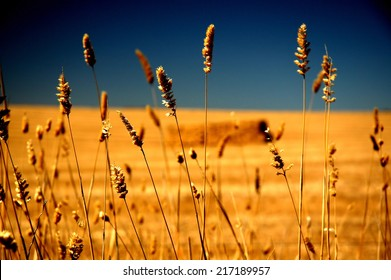 Farm crop under hot and dry conditions featuring rural Australia, dry land farming in drought stricken country. Barley, Oats, Harvest with square Hay Bales