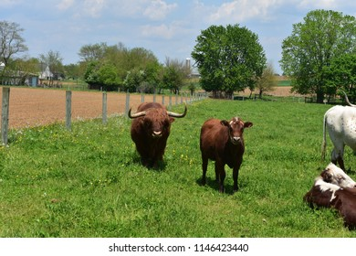 Farm with a cute brown Highland cow and a heifer.