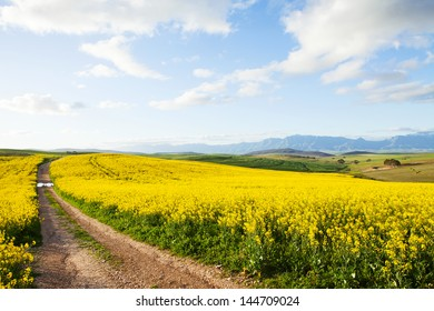 Farm dirt road between yellow canola flower fields overlooking valley