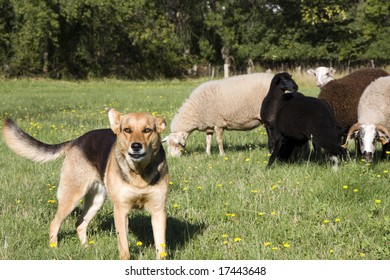 Farm Dog Guarding Herd of Sheep on Farm Land