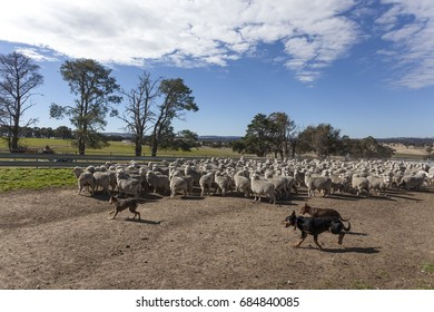 Farm dogs working with sheep