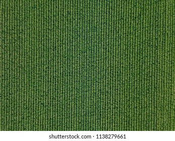 A Farm Field with Corn Crops Growing