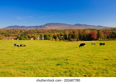 Farm field with a couple of cows, Stowe, Vermont, USA