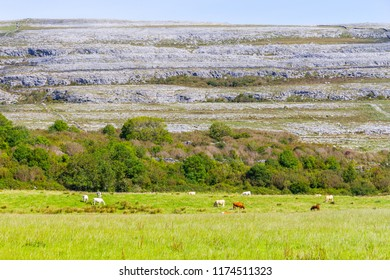 Farm field with cows and rock mountain in Burren way trail, Ballyvaughan, Clare, Ireland
