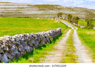 Farm field with cows and trail over mountain in Burren way trail, Ballyvaughan, Clare, Ireland