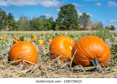A farm field full of large ripe bright organic orange pumpkins ready for autumn harvest, just in time to make pies for Thanksgiving season and jack o'lanterns for the Halloween holiday.