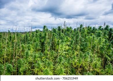 Farm field with green marijuana. Nature landscape.