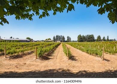 Farm field with rows of blueberry bushes on sunny day in British Columbia