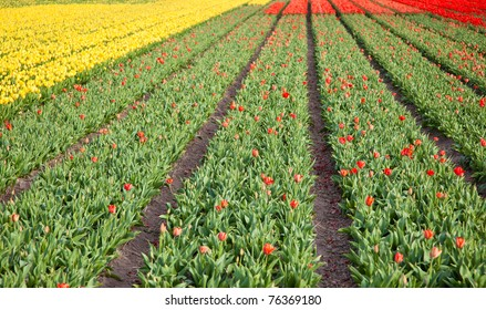 farm field with tulips