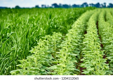 Farm fields: with green young sunflower buds and a field with young corn near