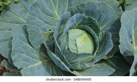 farm fresh cabbage from the farm