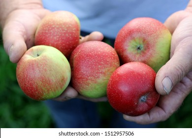 Farm fresh harvested fruits organic red & green apples presented holding in a farmers orchardist mens hand, agriculture. Variety Santana, early fall autumn lake of constanze