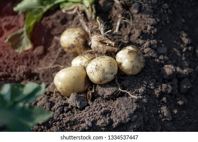 Farm garden with green potatoes during ripening. Digging some vegetables, food for vegetarians. Stock background, photo.