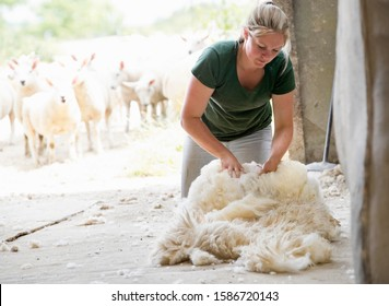 Farm girl collecting wool from sheared sheep with sheep in background