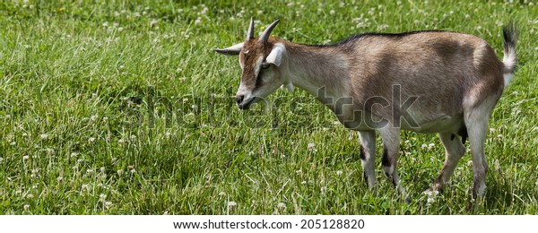 Fabulous Farm Goat Banner Room Text Stock Photo Edit Now 205128820 Home Interior And Landscaping Spoatsignezvosmurscom