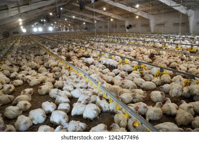 Farm for growing broiler chickens to the age of one and a half months