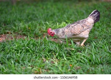 Farm hen walking freely in the island, Philippines