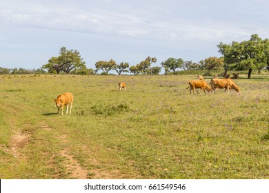 Farm house with cow, Cork tree forest and flowers in Vale Seco, Santiago do Cacem, Alentejo, Portugal