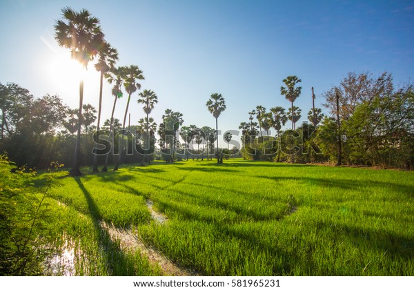 farm land, rice and coconut tree in thailand