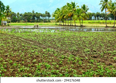 Farm land in Thenkashi, Tamilnadu,India.