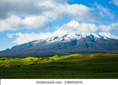 Farm land under Mt Taranaki, cattle grazing,cloudy