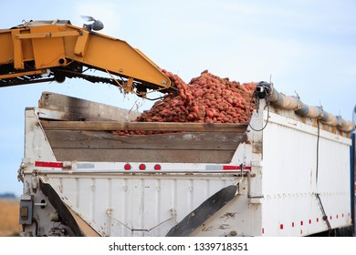 Farm machinery loading freshly harvested potatoes into a truck for transport to a winter storage cellar.
