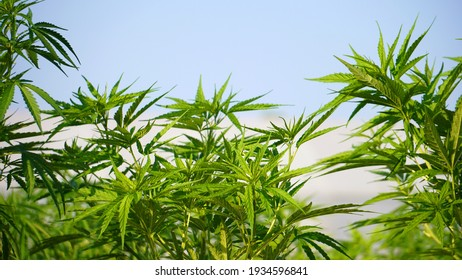 Farm marijuana weed new medical purpose legalize economic crops agricultural