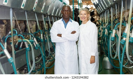Farm milkmaids man and woman in bathrobe standing near automatical cow milking machines