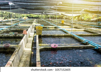 Farm nursery Ornamental fish freshwater in Recirculating Aquaculture System in cement pond square box are many and roof of house covered shading net light filter is lifestyle Countryside of Thailand.