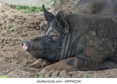 Farm pig in the dirt, enjoying life.