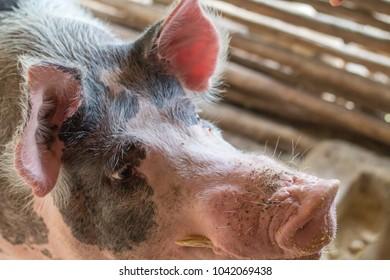 Farm pig from Minas Gerais