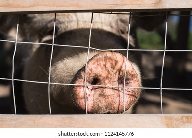 farm pig snout behind a fence, close up