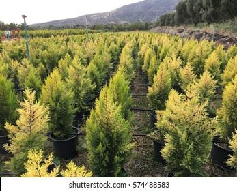 Farm of pine trees