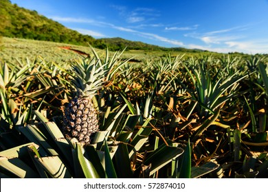 Farm of Pineapple tropical fruit in Hua Hin, Thailand. Agriculture industry