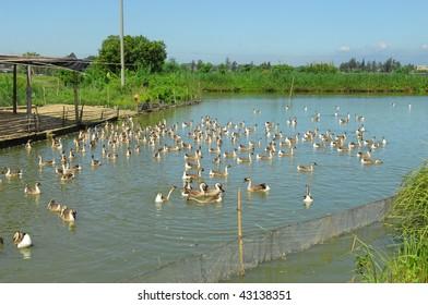 farm pond with ducks