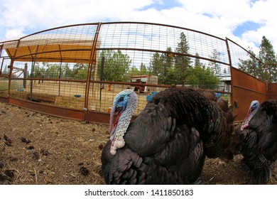 Farm Raised Turkey. Fish Eye Lens view of Farm Raised Tom Turkeys strutting.