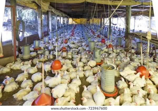 Farm Raising Chickens Intensive System Brazil Stock Photo