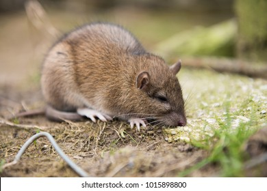 A farm rat dying after eating rat poison. rats eat harvests