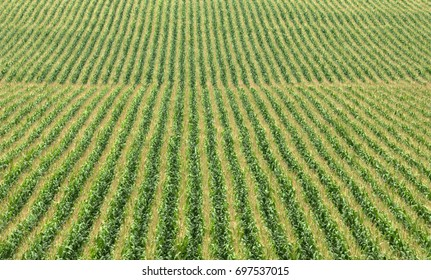 Farm scene: rows of corn in a cornfield