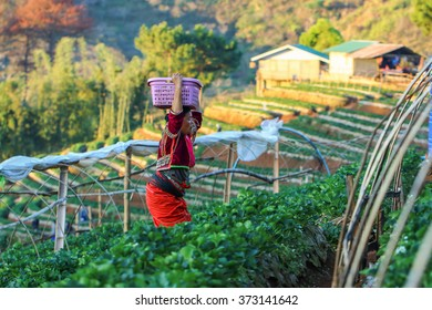 Farm Strawberry , Strawberry , Strawberry Tree, Thailand's hilltribes on the famous Strawberry Farm. The Village Nongrat, Fang District, Chiang Mai province,thailand-5 February 2016