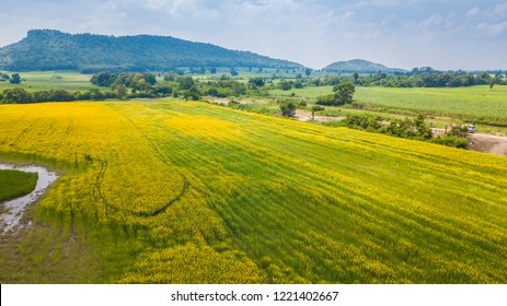 Farm Sunhemp flowers. Beautiful yellow flowers field and blue sky in sunny day. aerial view
