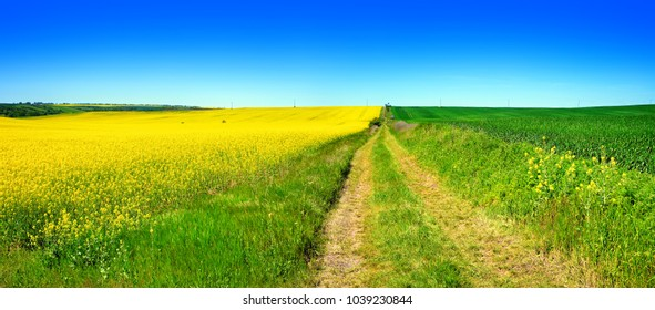 Farm Track through endless Fields of Rapeseed and Grain under Blue Sky in Spring