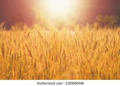 Farm Wheat Field