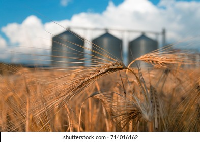 Farm, wheat field with grain silos for agriculture